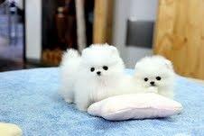 Due fantastici cuccioli di Pomerania T-Cup
